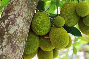 Growing Jackfruit | jackfruit tree | Kathal