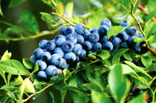 Growing Blueberry bush | Blueberry plant
