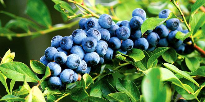 Growing Blueberry bush | Blueberry plant