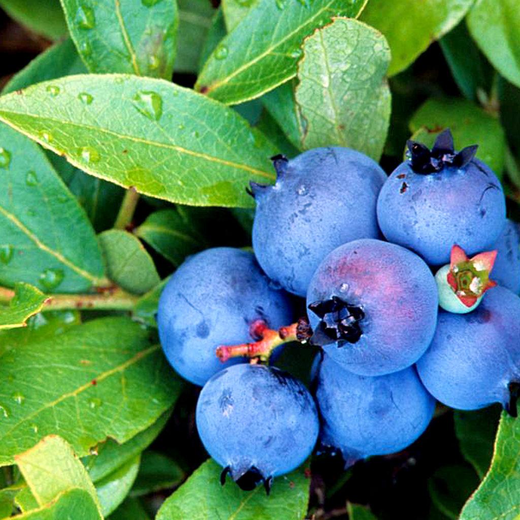 Blueberry plant | Growing Blueberry bush