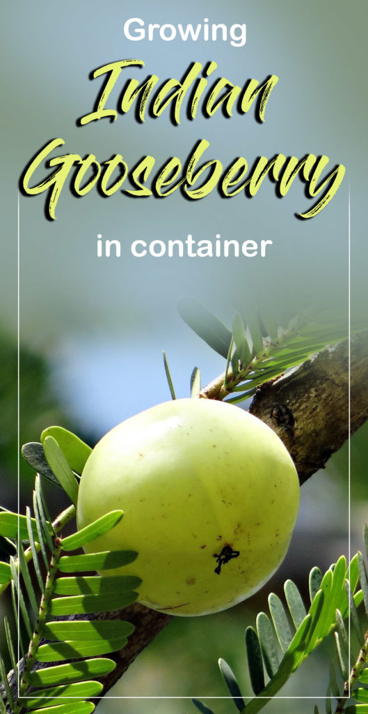 Indian gooseberry | how to grow gooseberry