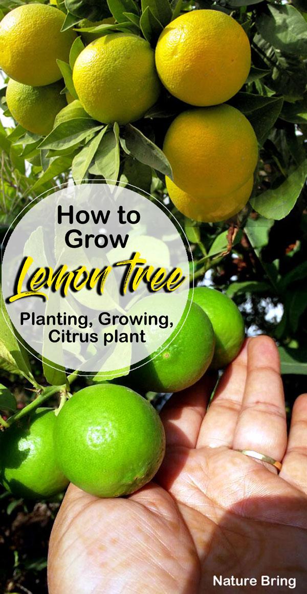 Lemon tree in pots | Growing Meyer Lemon | Citrus plant