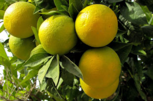 Lemon tree | Growing Meyer Lemon | Citrus plant