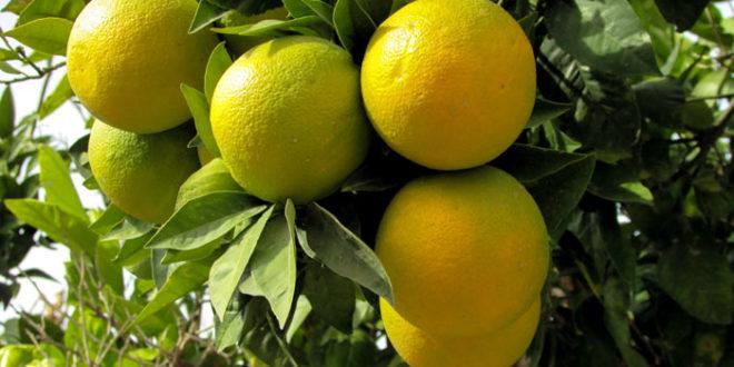 Lemon tree | Growing Meyer Lemon | Citrus plant