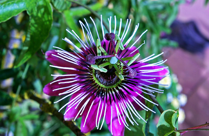 Growing Passion flower | How to grow Passion flower in a container | Passiflora