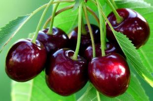 Cherry plant | cherry tree