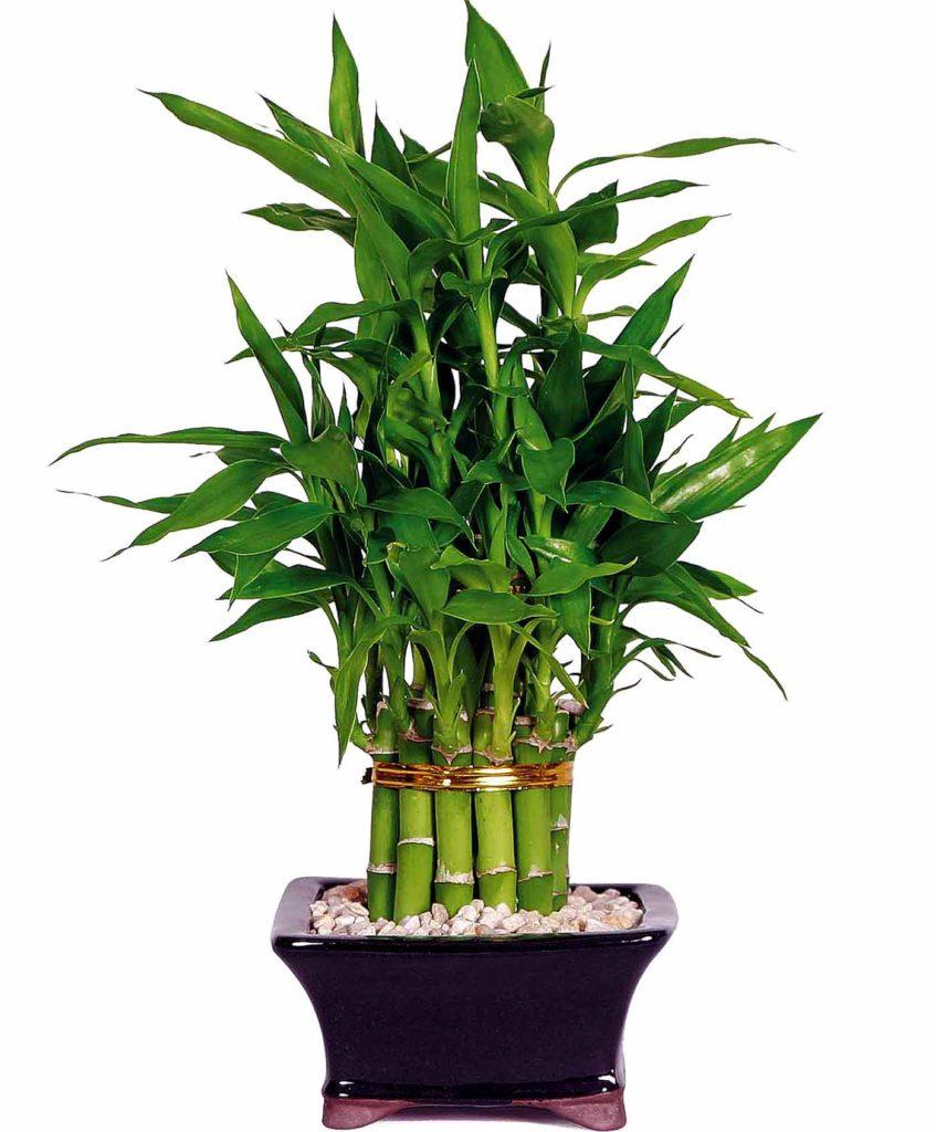 lucky bamboo3