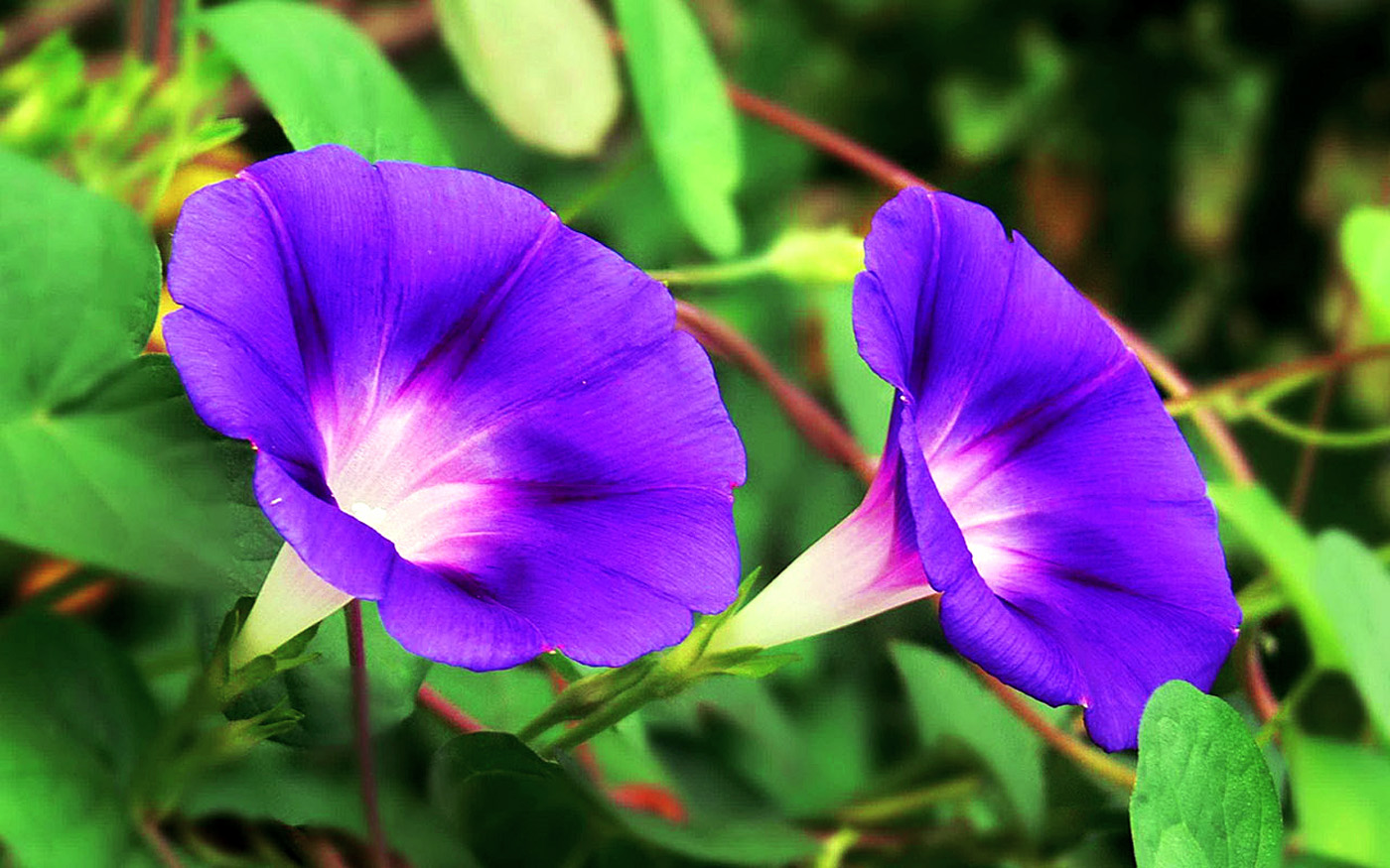 How to grow Morning glory | Growing morning glory in a container