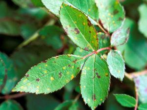 Black spot of rose leaf