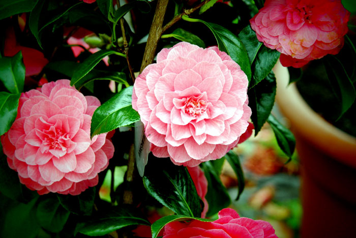 Growing Camellia plant in a container