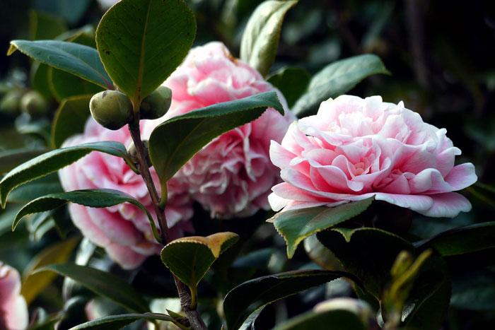 How to Grow Camellia | Growing Camellia plant in a container