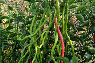 Growing Chili pepper | Hot Pepper | Chilli plant