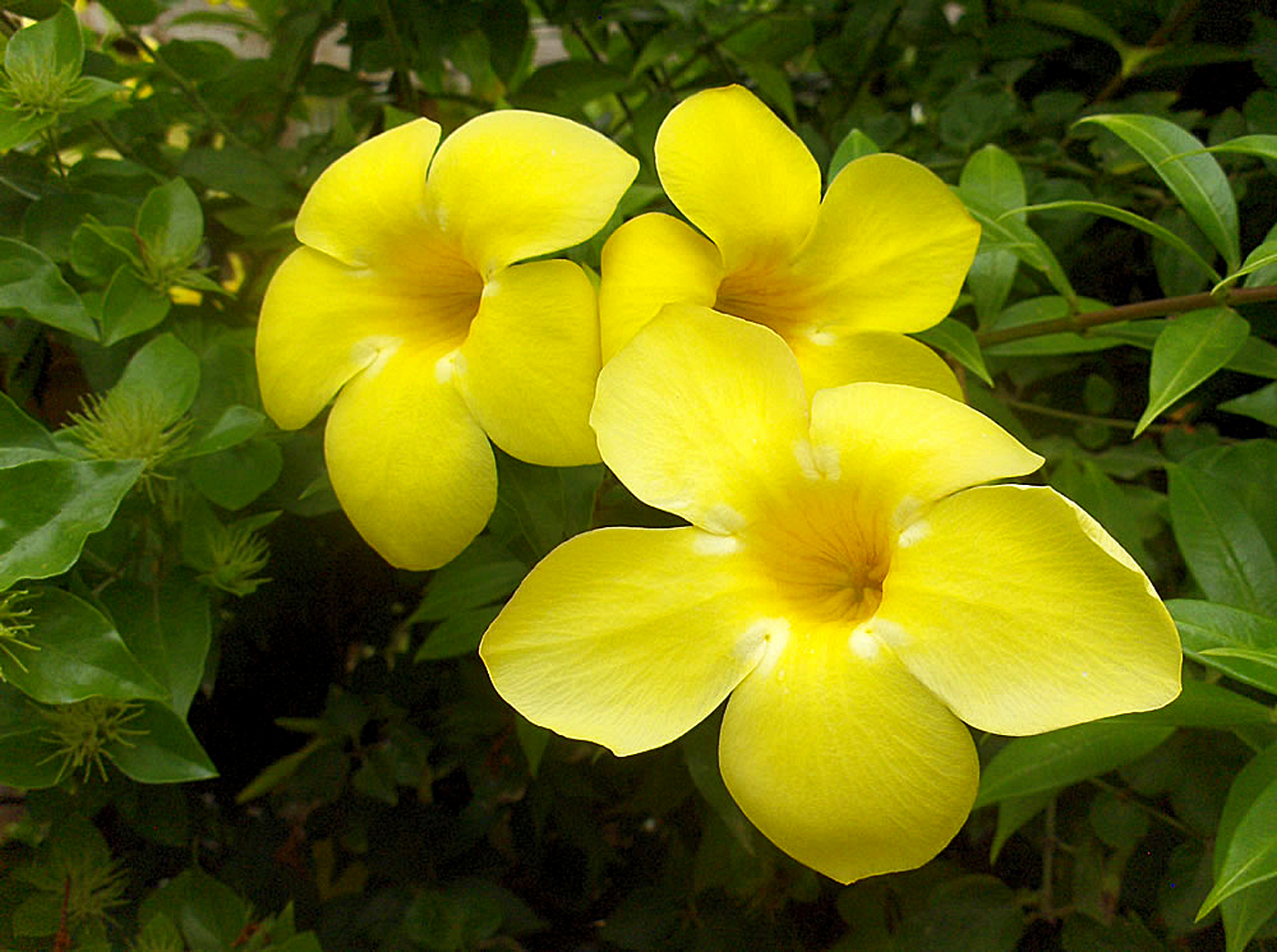 Allamanda cathartica | Growing Golden Trumpet vine