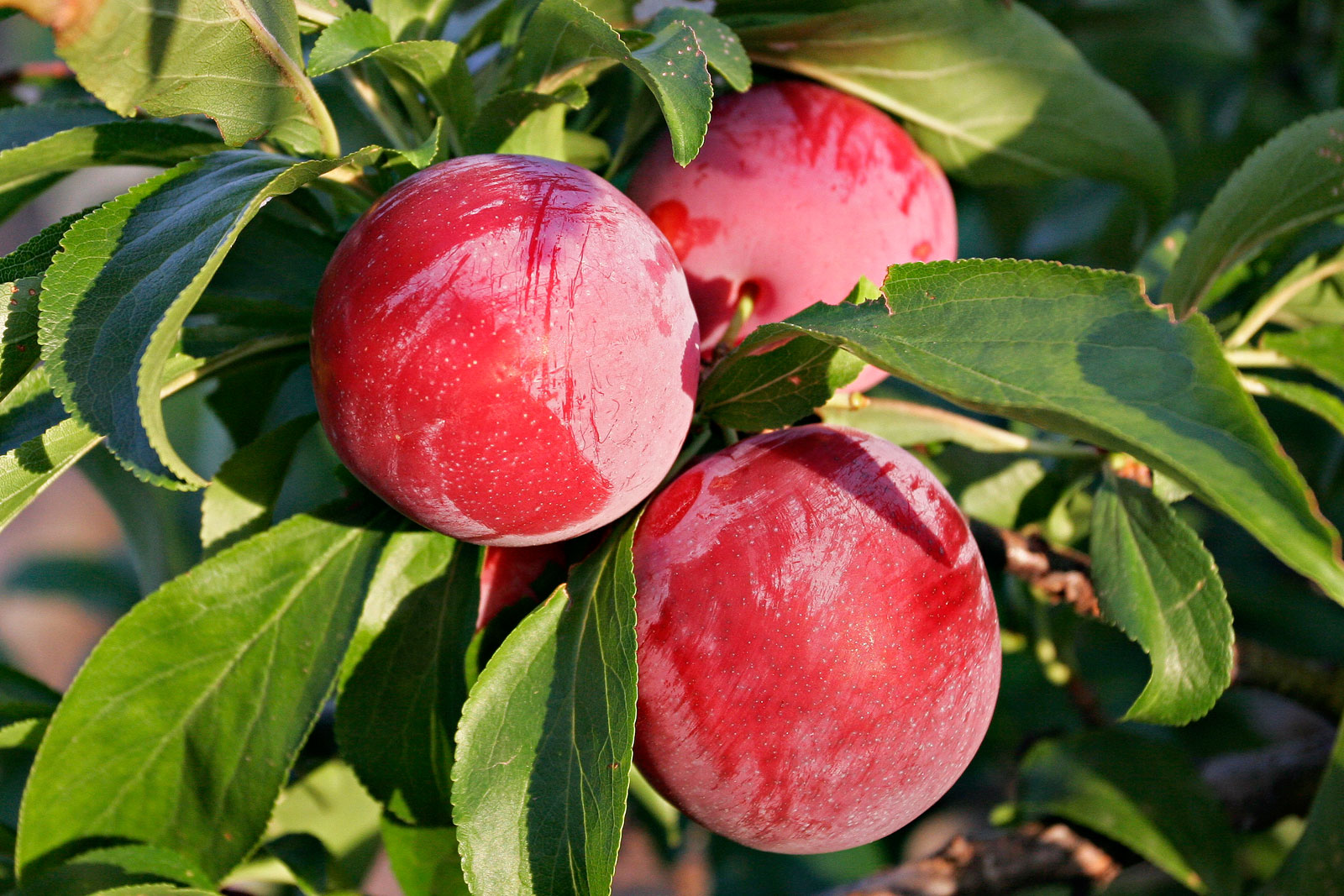 How To Grow Plum Tree In Containers Growing Plums Prunus