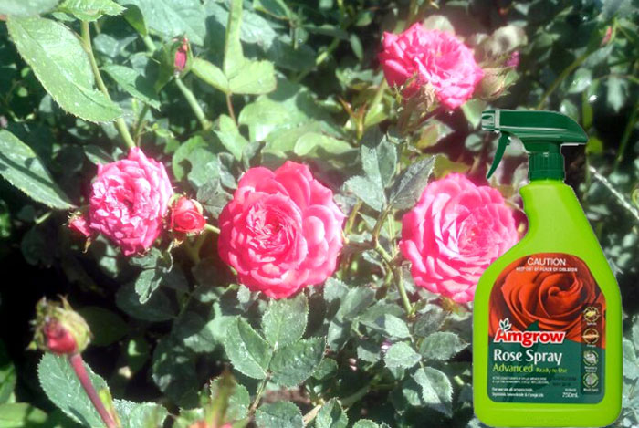 How to control Black spot on the rose leaves | How to use an organic fungicide