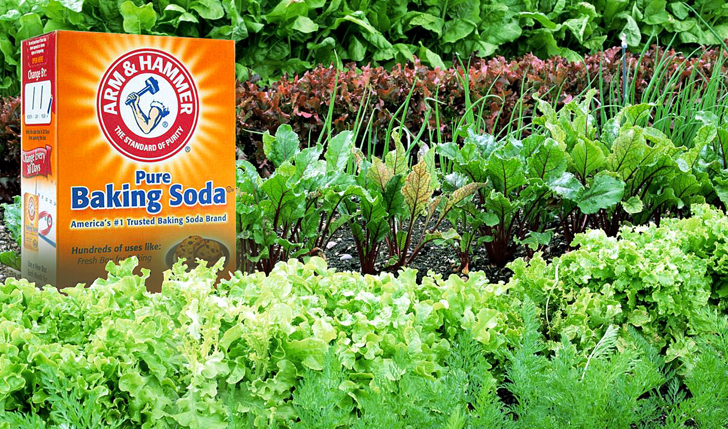 10 ways to use Baking Soda in gardens | Using Baking Soda for plants