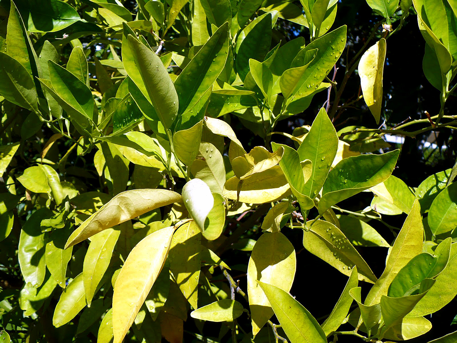 8Reasons your plant leaves turning yellow | why leaves turning yellow