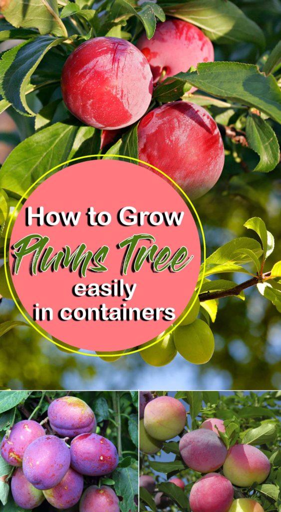 Plum Tree | Growing Plums | Prunus