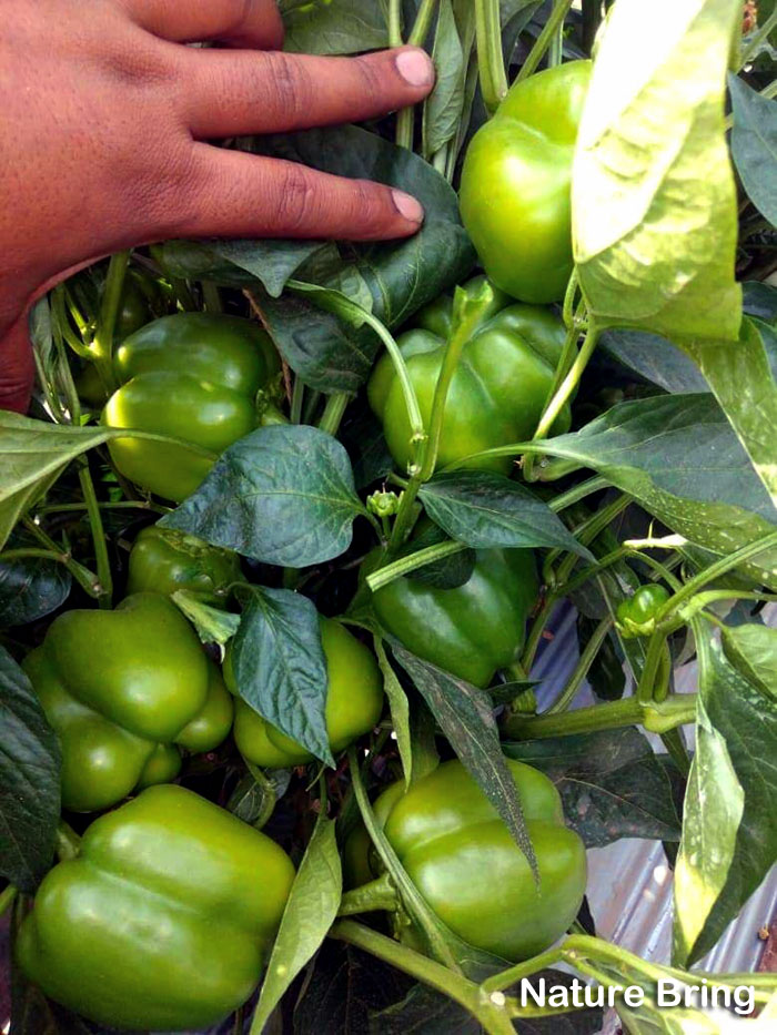 How to grow Bell Peppers in containers | Growing Bell Peppers | Sweet peppers