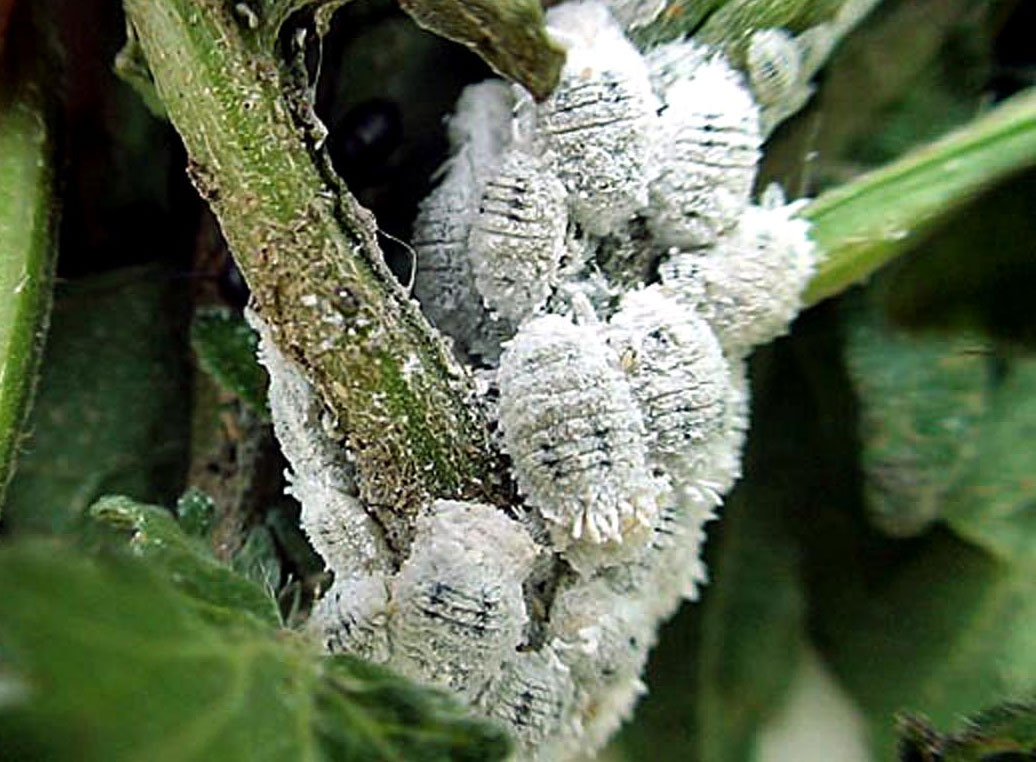 How to get rid of Mealybugs an organic way | Garden care