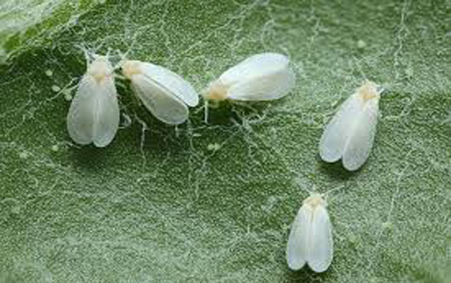 How to get rid Whitefly an organic way | Organic control of Whiteflies