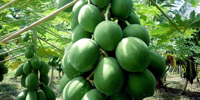 Growing Papaya Tree