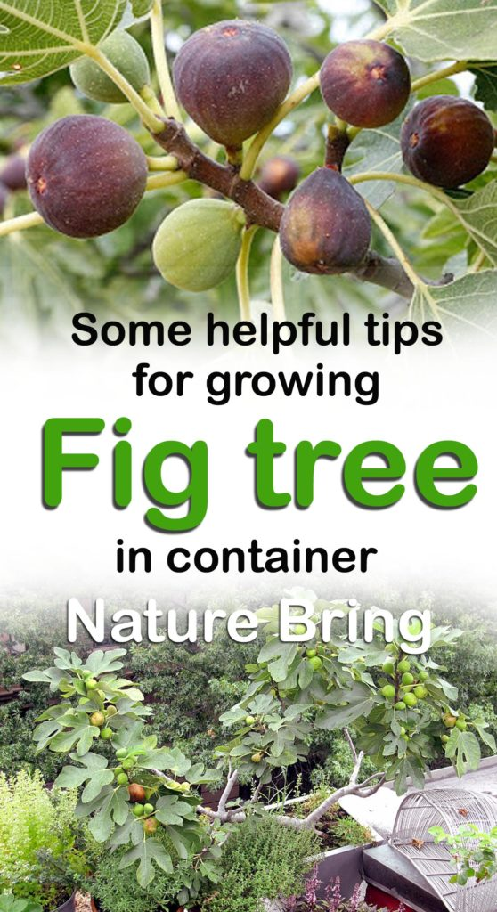 growing fig | ficus carica | figs