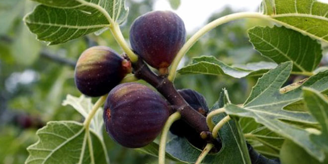How To Grow Fig Trees In Pot Growing Figs Care