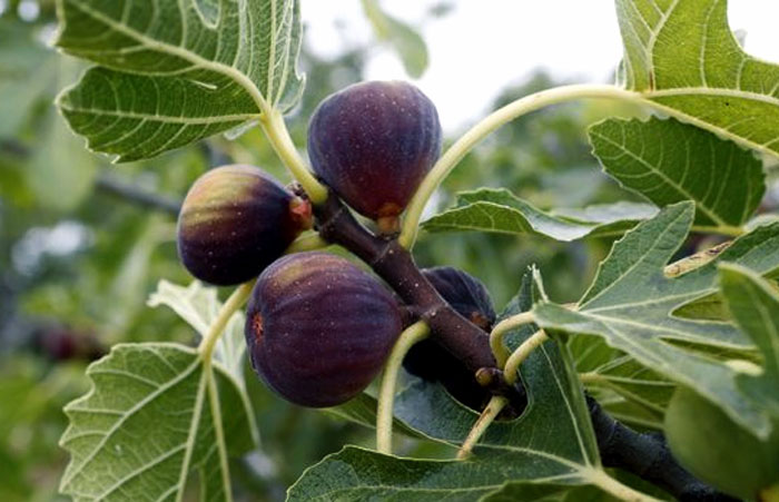 How to grow Fig trees in pot | Growing Fig | Figs care