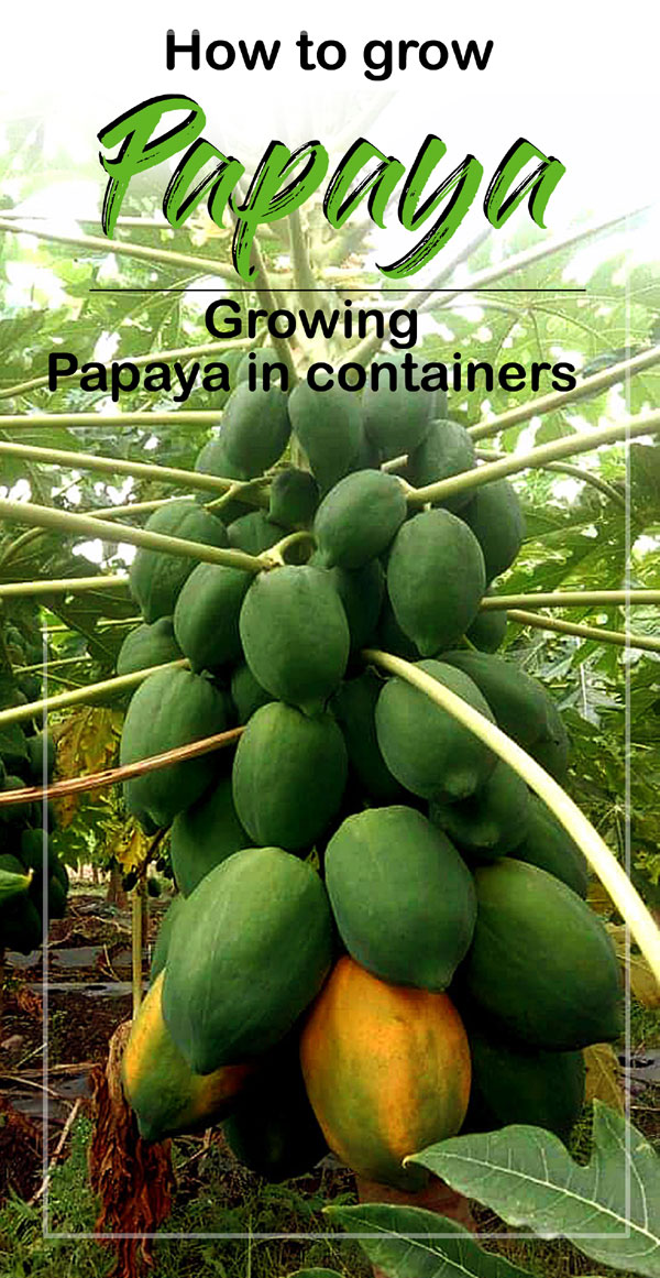 Growing papaya tree| Papaya | Dwarf Papaya plant