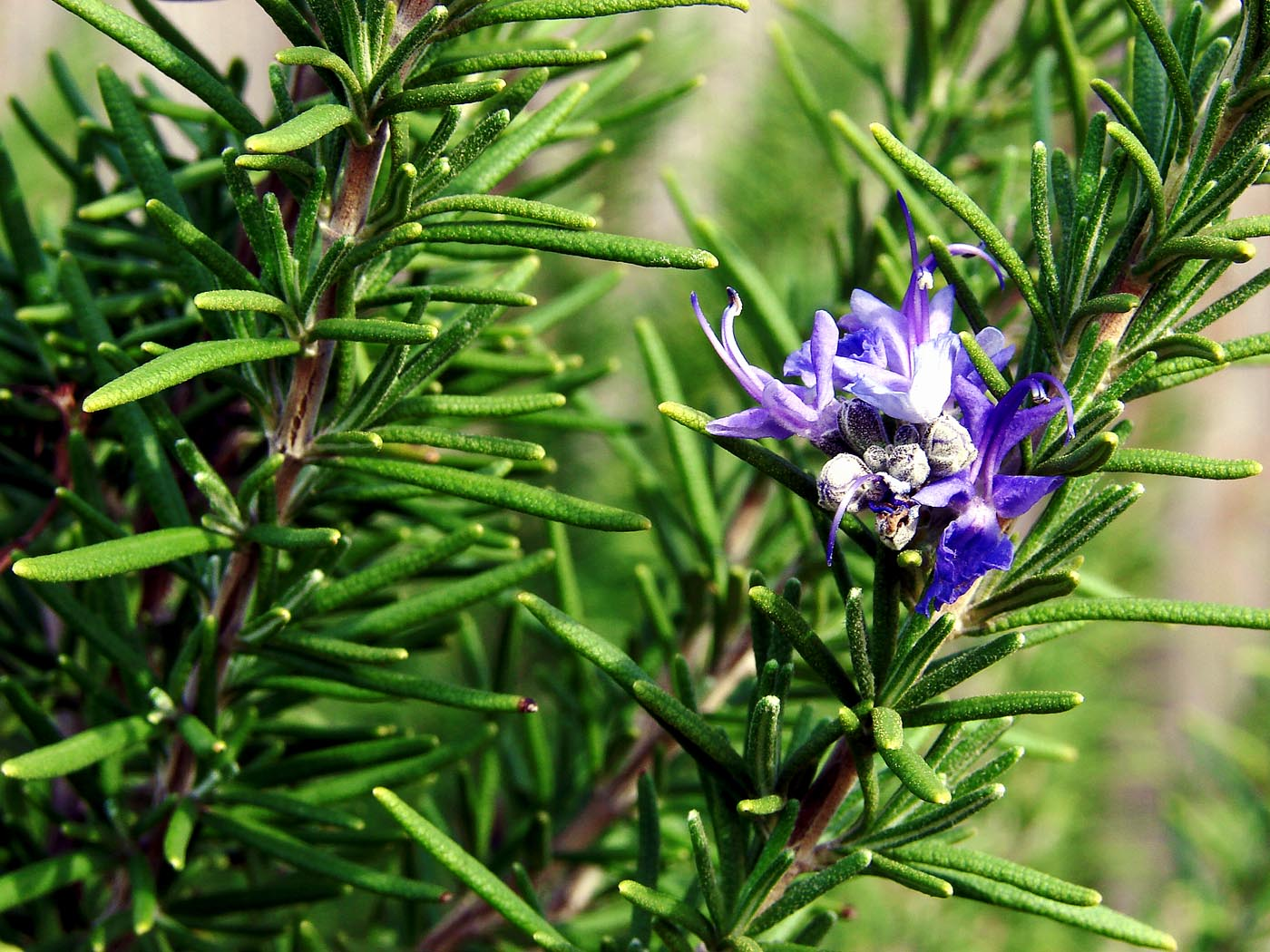 How to grow Rosemary | Growing Rosemary in containers | Rosemary care