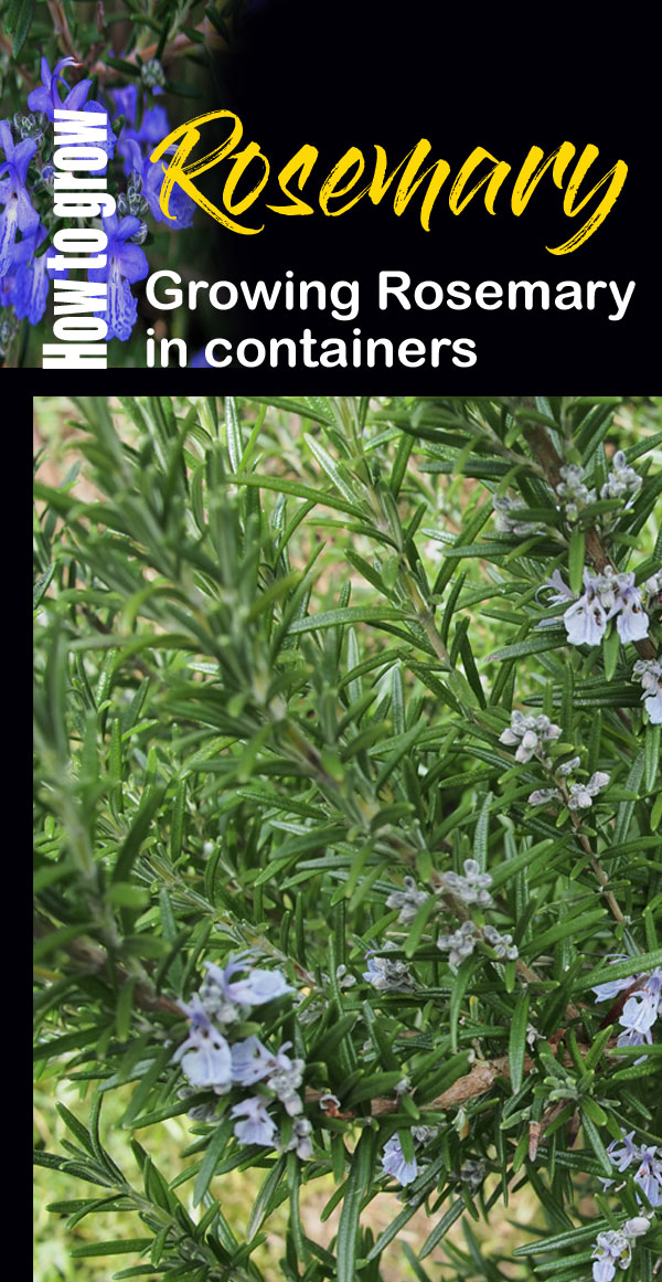 how to grow rosemary plant | growing rosemary | rosemary herb