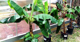 Growing banana dwarf species in containers