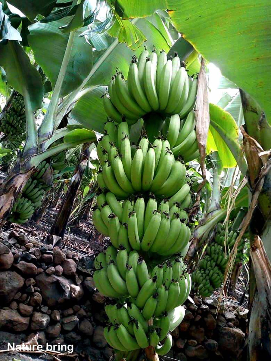 Growing banana tree in containers   How to grow Banana plant   Musa