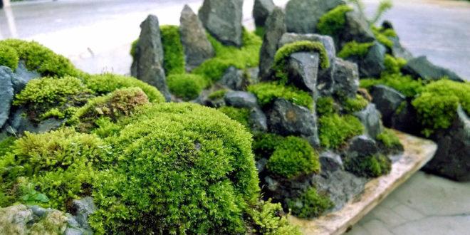 Grow Your Own Moss Garden How To Get Mosses In The Garden