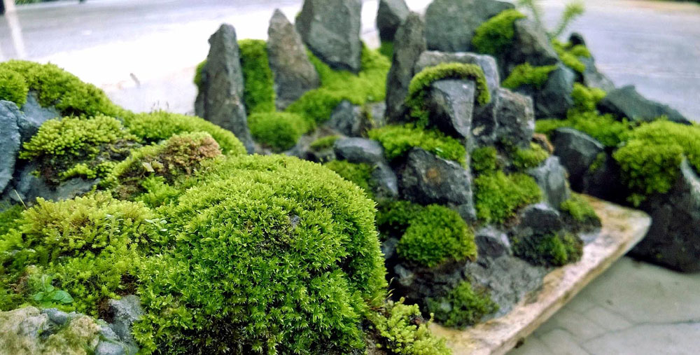 How to grow Moss | How to get mosses in the garden?