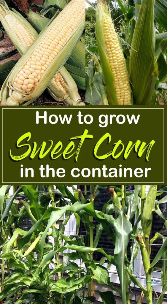 how to grow corn plant | Sweet corn | Maize