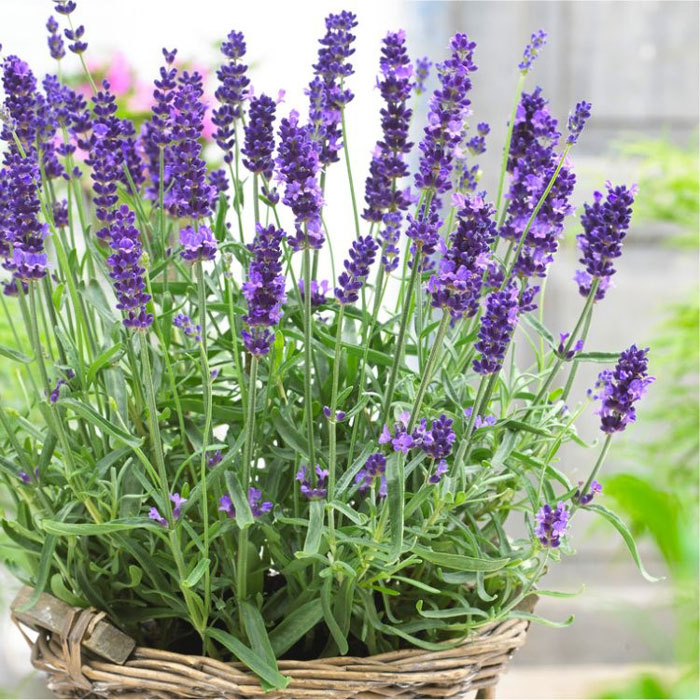 How to Grow Lavender | Growing Lavender in pots | Lavender plant care