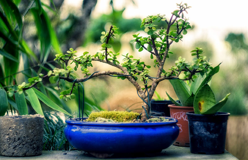 How to grow Bonsai tree | How to make your Bonsai plant