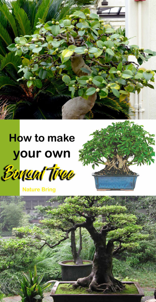 Bonsai tree | Bonsai plant | Indoor bonsai