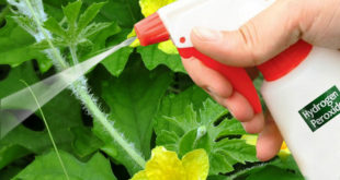 8 Simple ways to use Hydrogen Peroxide in the garden
