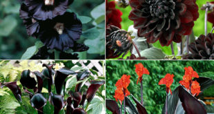 9 Dark Dramatic flowers | Black flowers | Dramatic plants