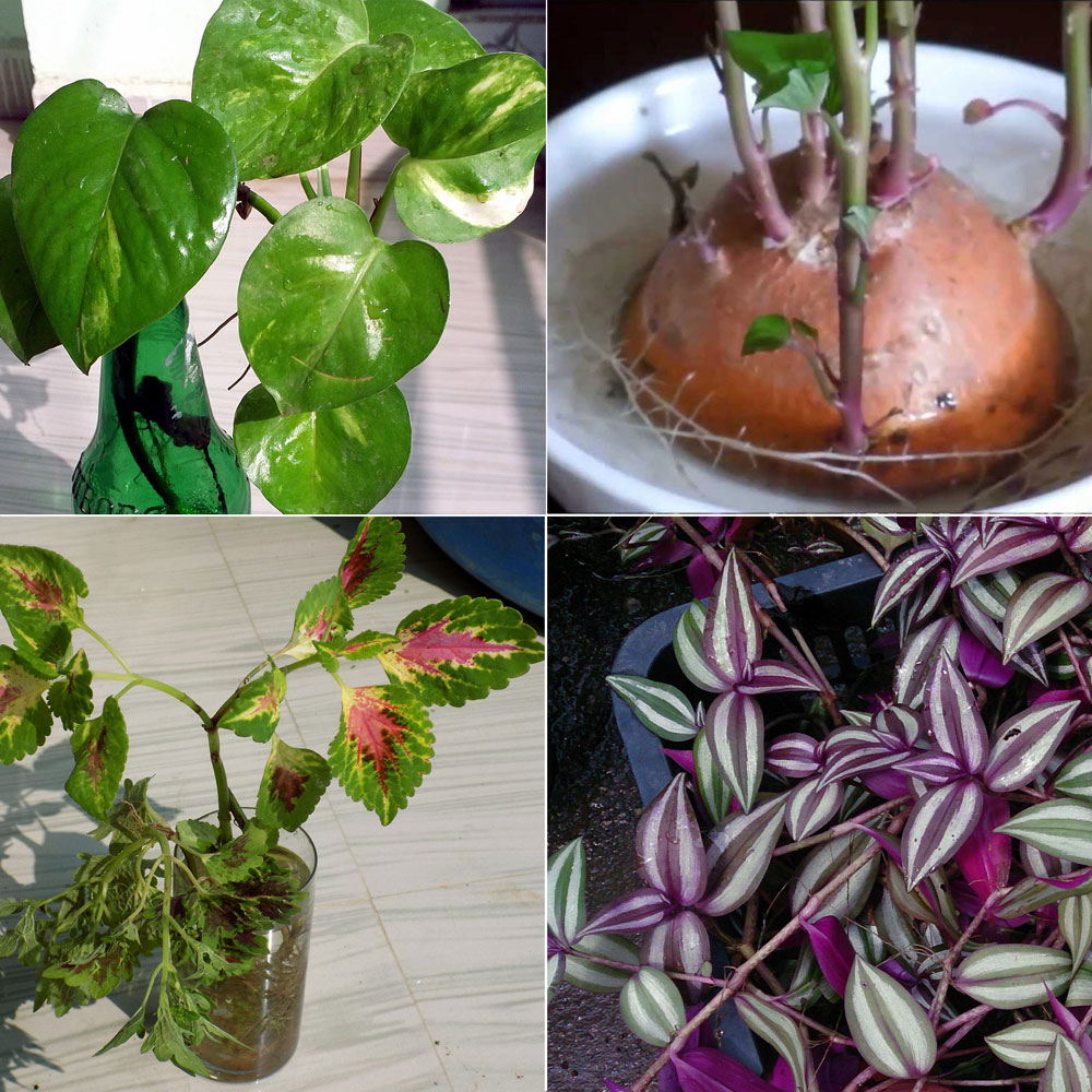 Indoor Plants Grown In Water: 8 Indoor Plants Grow In Water