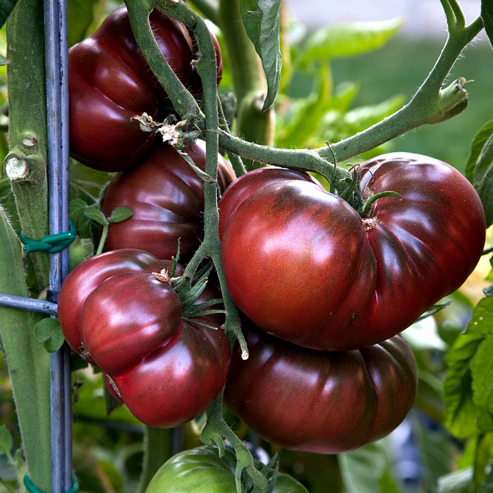 Growing Heirloom Tomato Plant How To
