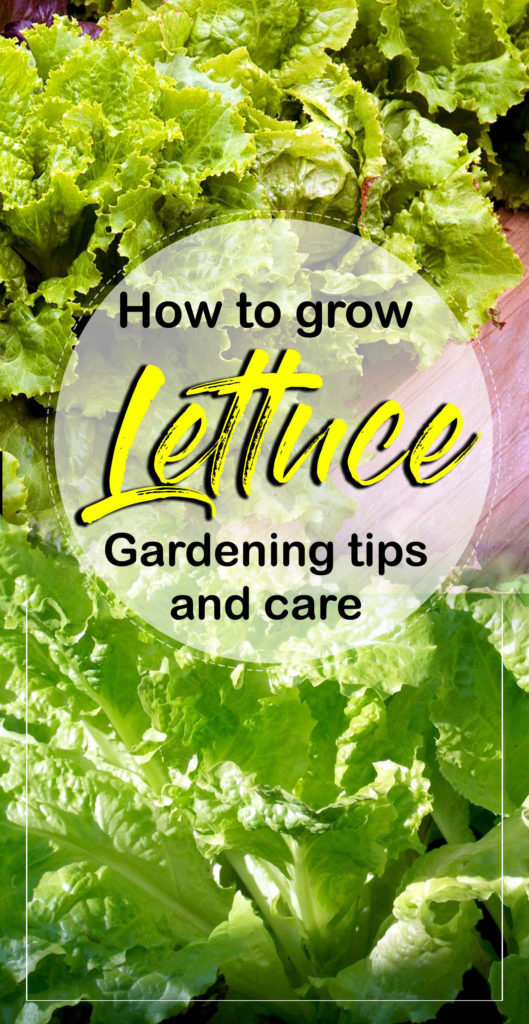 growing lettuce | salad | how to grow lettuce