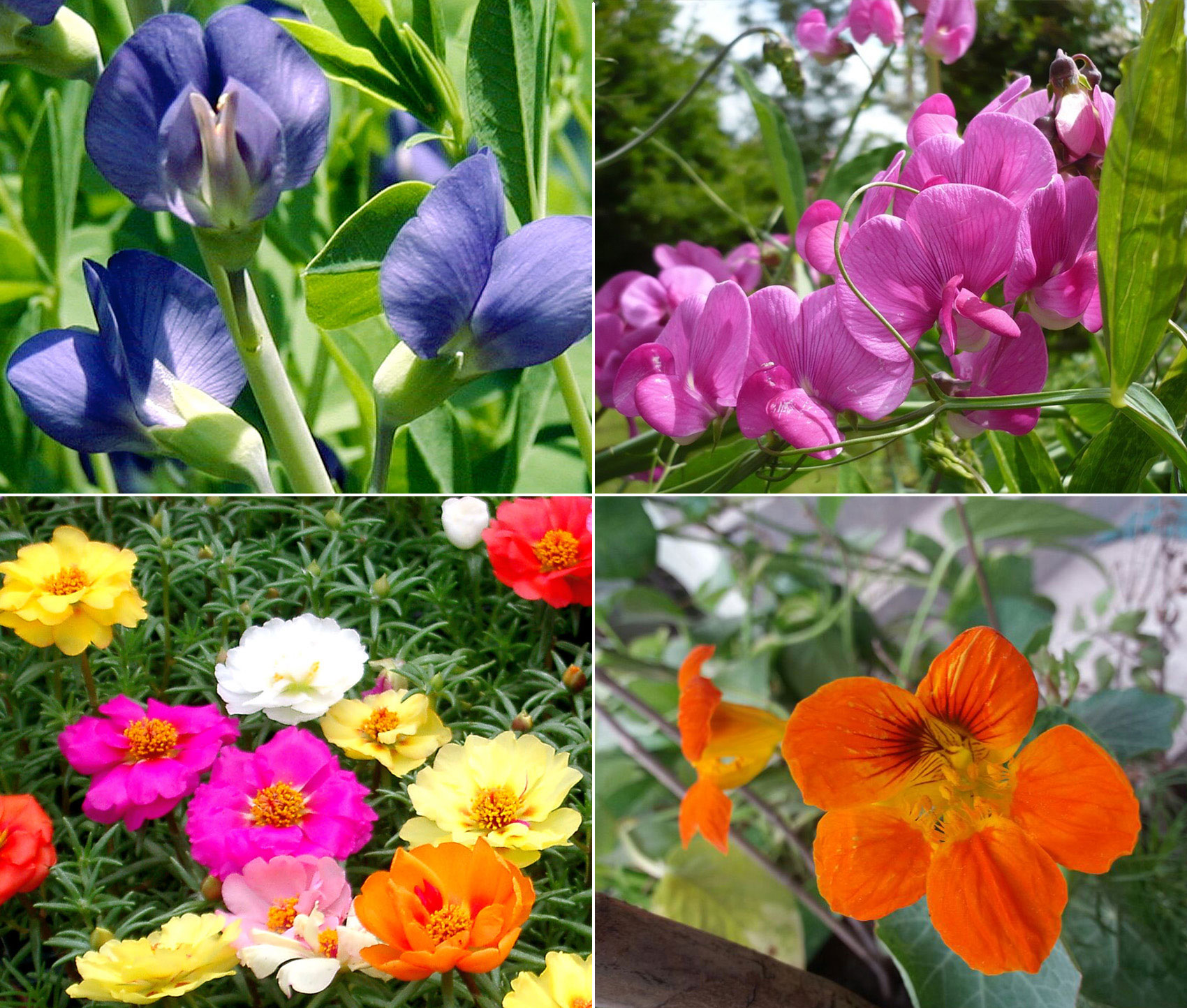 Annual flowers | Self-Seeding make your garden beautiful