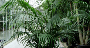 How to Grow magnificent Indoor Palm Trees | Potting, Growing and caring
