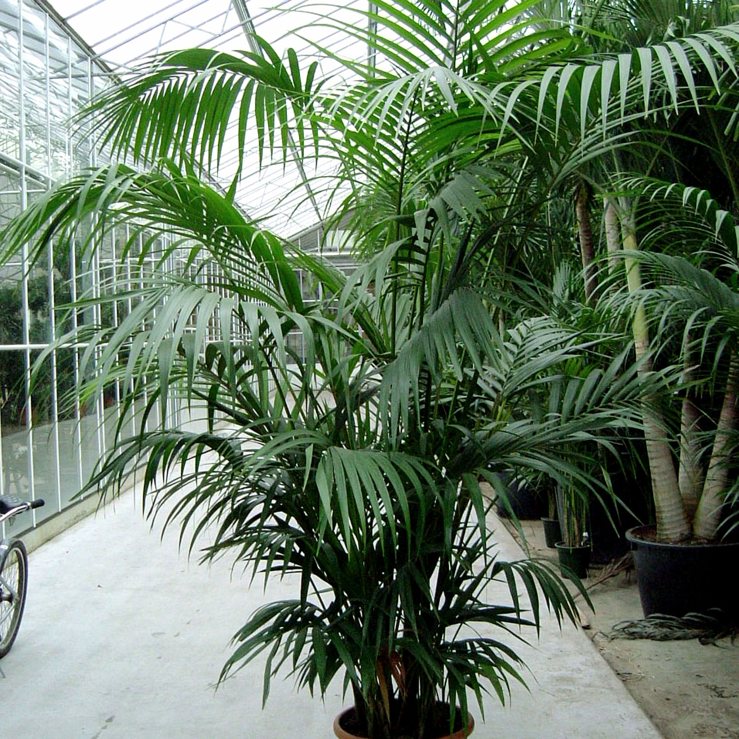 how to grow magnificent indoor palm trees potting. Black Bedroom Furniture Sets. Home Design Ideas
