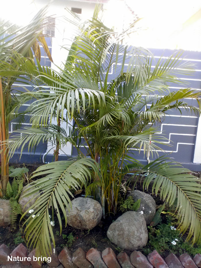 Growing and caring Palm Tree