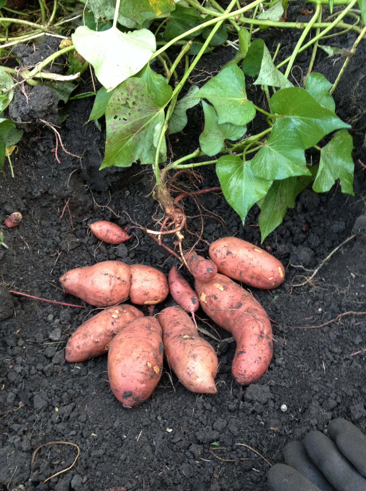sweet potatoes harvesting